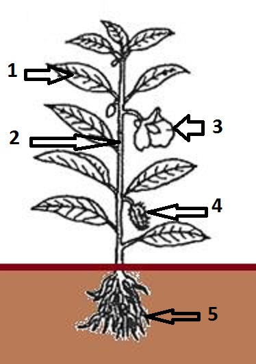 Life cycle wghs junior science label the diagram of the plant terms to use flower fruit leaf root stem what is the name and functions for each part of the plant numbered 1 to 5 ccuart Image collections